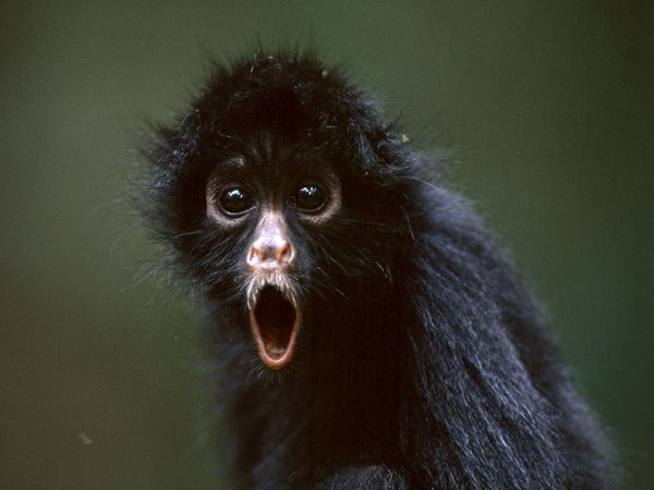 Google Image Result for http://images.nationalgeographic.com/wpf/media-live/photos/000/007/cache/spider-monkey_719_600x450.jpg