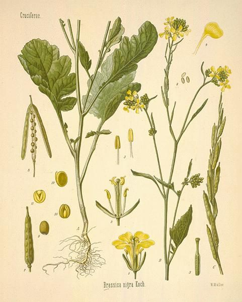 botanical.com The Mustard Seed Brassica nigra is a potent ingredient in the spells of Witches. Eye of Newt is said to aid in traveling through the air as well as protect against the cold (and cold...