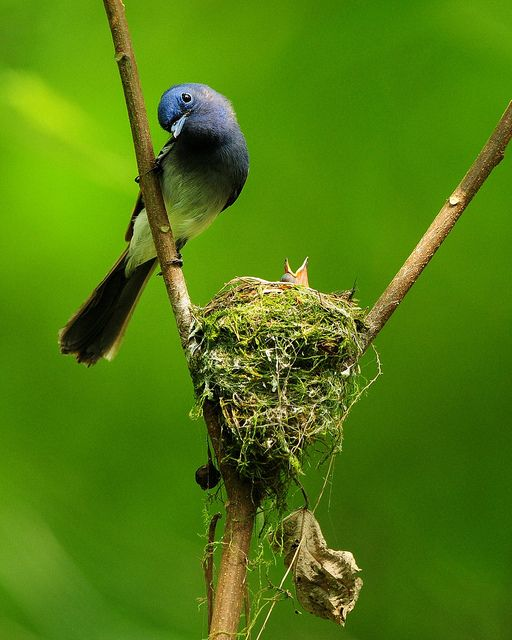Black-naped Blue Flycatcher by Sushyue Liao (Mirror_Lake)