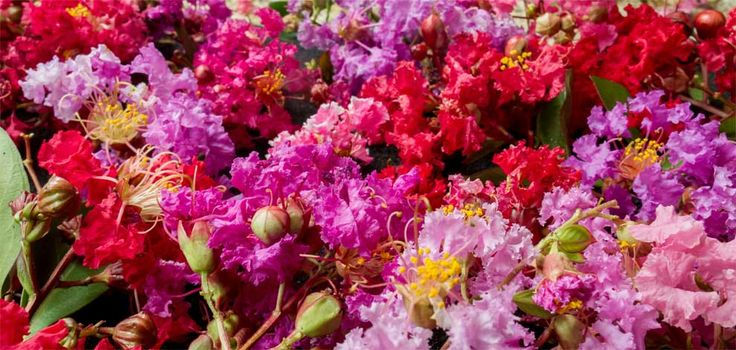 Summer Fun in the Sun: Crape Myrtles | Lagerstroemia-medley