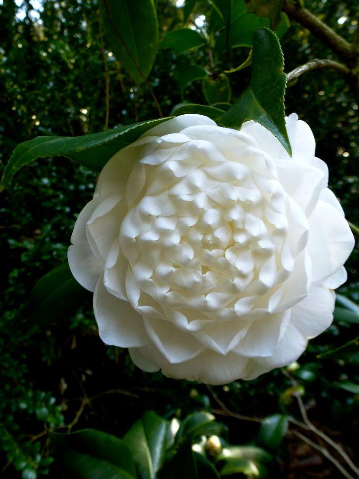 Camellia japonica 'Mary Alice Cox' (U.S., 1963)