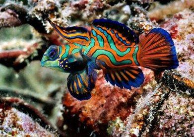 mandarin-color-ful-fish