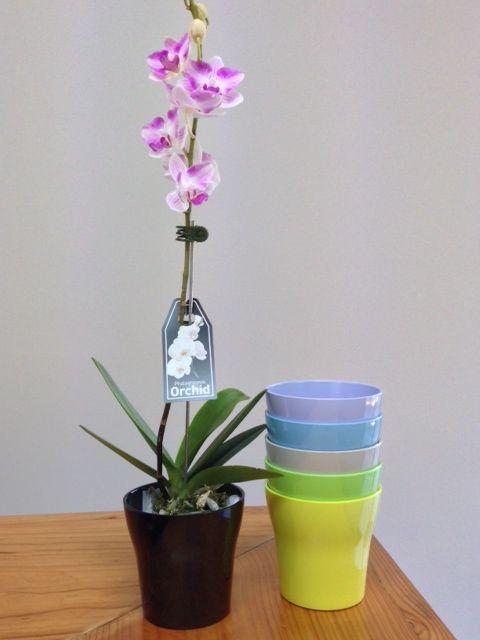 beautiful purple Phalaenopsis Orchids flowering in coloured melamine vases www.summerhillnurseries.com.au