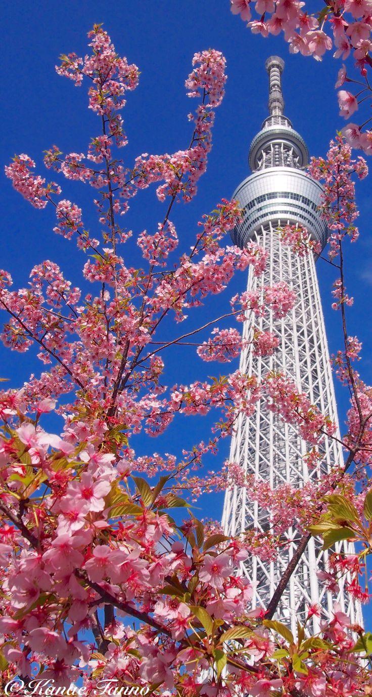 Tokyo sky tree&cherry blossom.