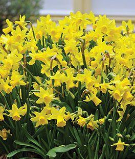 Daffodil, Tete A Tete,