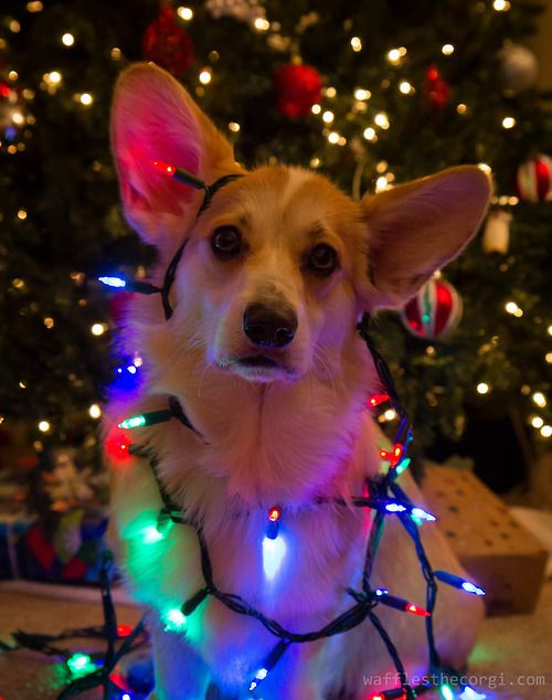 corgi wrapped in christmas lights - Dog Christmas Lights