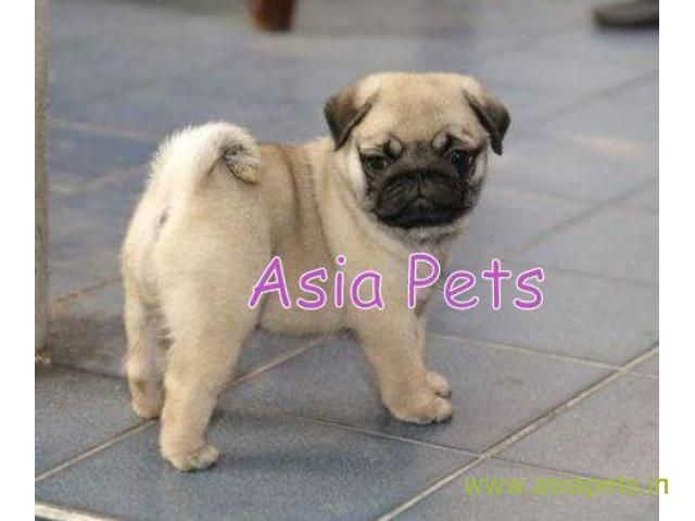 Pug Pups Price In Hyderabad Pug Pups For Sale In Hyderabad