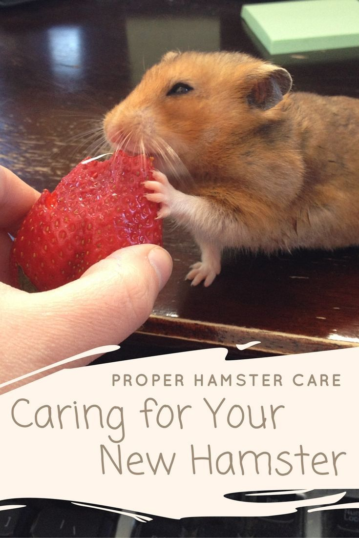 Proper Hamster Care Caring For Your New Hamster Hamster Care