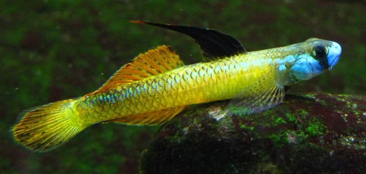 Stiphodon Percnopterygionus Goby Fish I Want To Own