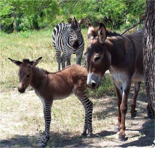 Ippo the zonkey - animal que nasceu do cruzamento de uma zebra