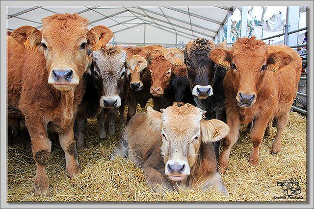La feria de ganado de Potes (Cantabria) es una de las mas importantes ferias de estas características que aún se celebran y de las mas ant...