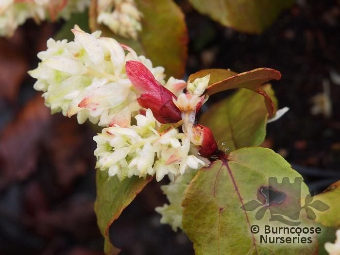 Ribes Laurifolium 'Amy Doncaster' from Burncoose Nurseries