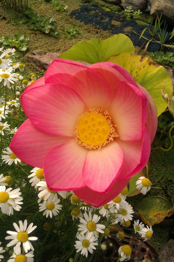 55 best ponds images on Pinterest | Ponds, Backyard ponds and Garden ...