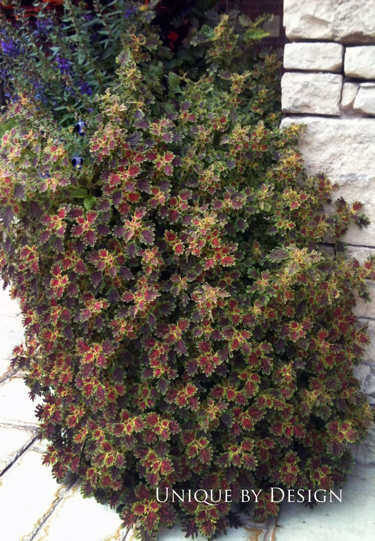 230 best My Coleus plants images on Pinterest Shade garden