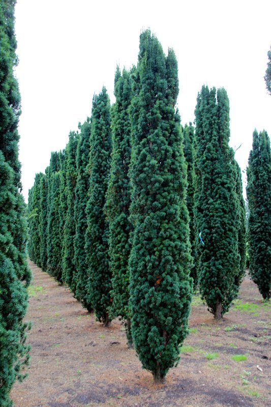 21 best tall and slender evergreen trees images on for Tall evergreen trees for small gardens