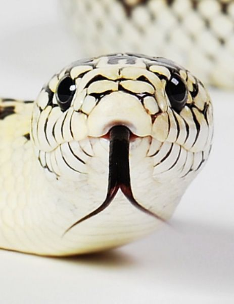 King snake! #snakes #reptiles #topanimals