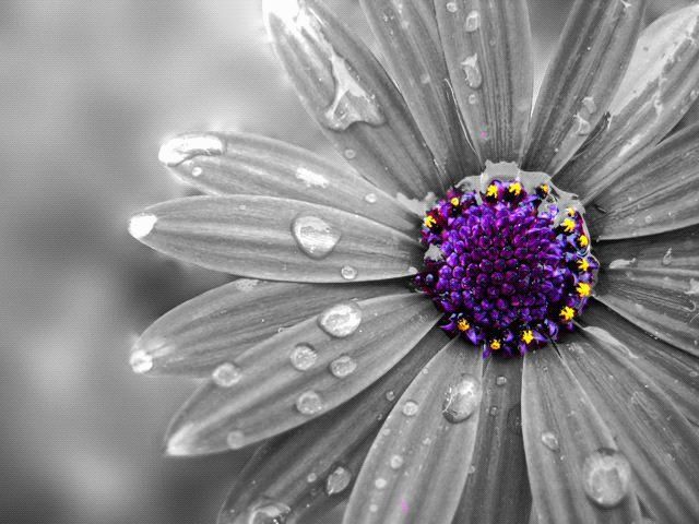 Flowers In Black And White With Color Splash Download