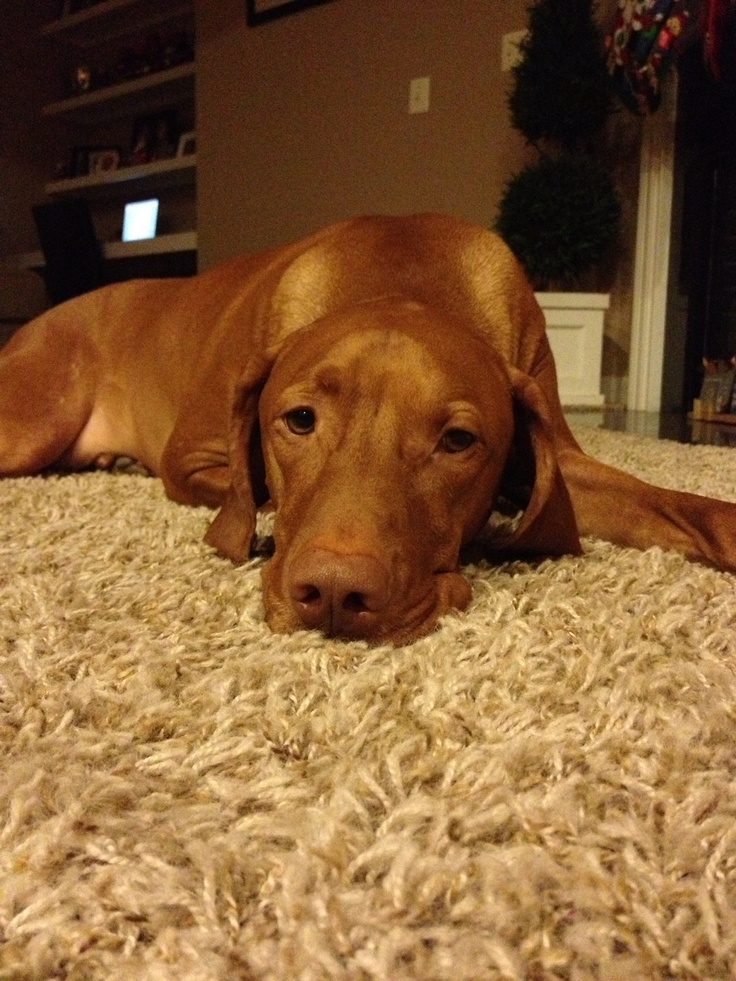 Could I be cuter? Vizsla  so like my Vanya...a rescue Vizsla from a puppy mill...she will always have my heart