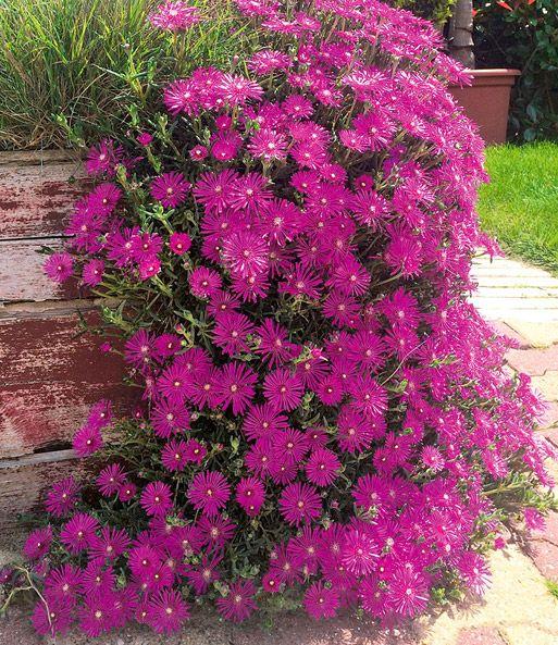 Die 25+ Besten Ideen Zu Mittagsblume Auf Pinterest ... Garten Pflanzen Trockenen Regionen Tipps Sparen
