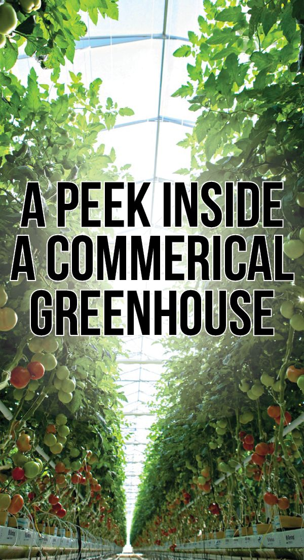 Ever wondered what it would be like inside a commercial greenhouse? Take a look at this incredible article to discover how your food grows! #BushelBoyTomatoes #BushelBoyFarms #ad