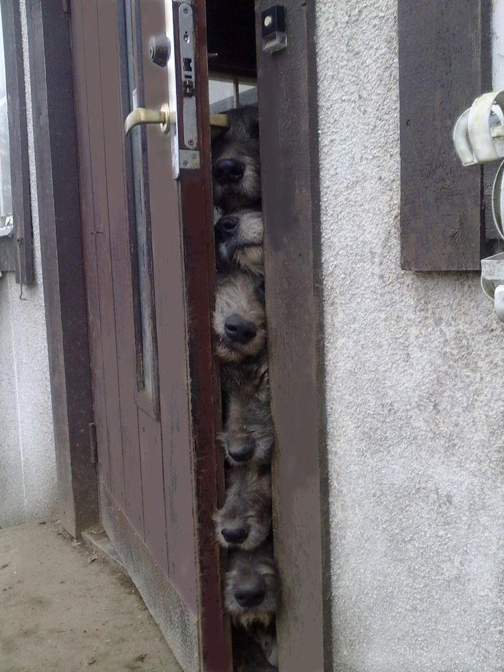 Irish Wolfhound noses