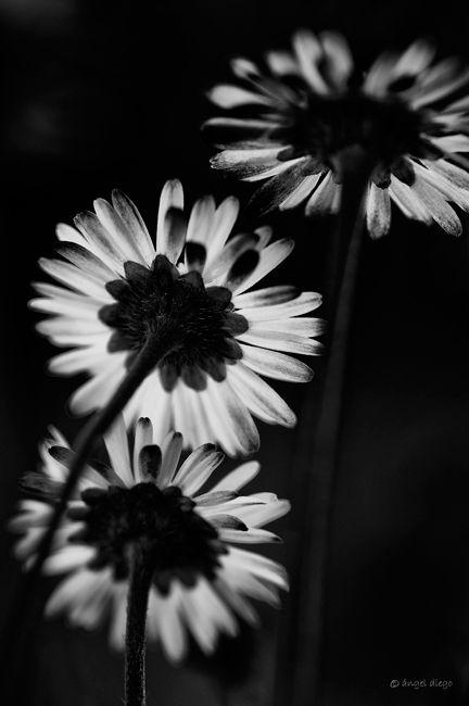 3 flowers in b&w