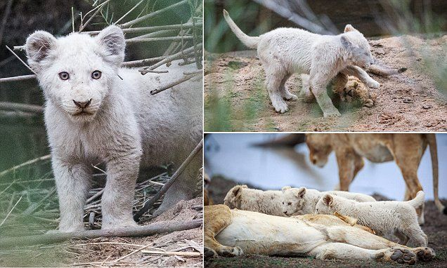 White magic: First-ever photos of newborn white lions in the wild #DailyMail