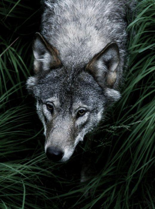 Environ 300 loups vivent en France / Source : GEO.fr/Getty Images