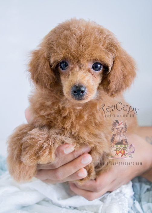 Adorable red Poodle puppy for sale at TeaCups, Puppies & Boutique!  www.TeaCupsPuppies.com