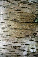 Birch is a white tree bark that is flexible and useful in crafts.