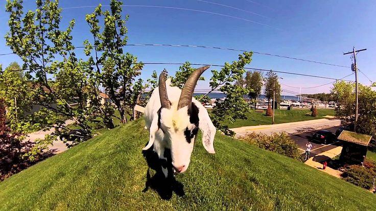 The Goats on the Roof Al Johnson's Swedish Restaurant