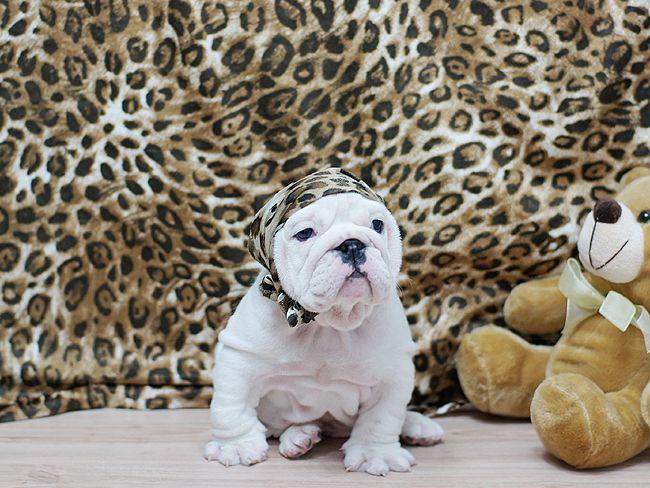 Amazing Rocky ~ Gorgeous English Bulldog White with One Blue Eye! Wrinkly and fabulous! SOLD!