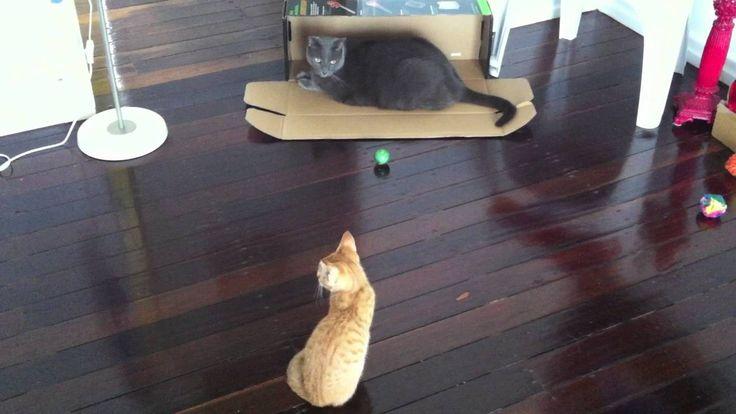 Cat and Kitten Stare off Competition  -  #Autumn&AngelBoy Episode 7 #Autumnthegingerninja,#AngelBoy,#HopeCats,#Autumn&AngelBoy