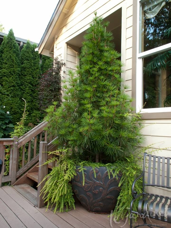 Fine Foliage Now Hereu0027s A Duo That Will Look Good Year Round; Japanese  Umbrella Pine. Container PlantsContainer ...