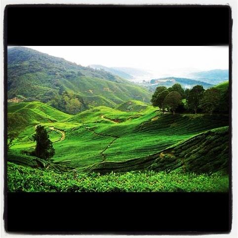 wonosari tea plantation in lawang