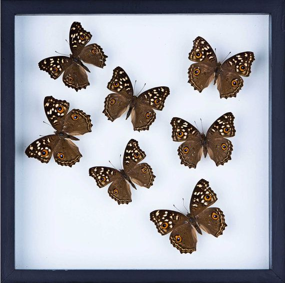 shop for butterfly gifts real framed butterflies insect displays real framed insects and butterflies in artistic doubleglass frames