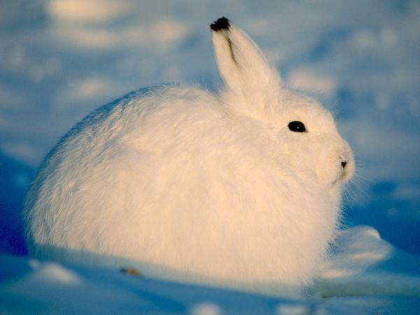Winter: Arctic Hare by Paul Nicklen, nationalgeographic #  Arctic_Hare #Paul_Nicklen #nationalgeographic