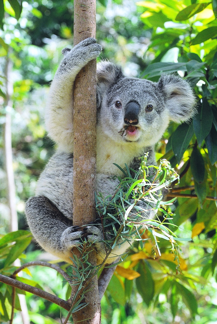 Lone Pine Koala Sanctuary, Brisbane, Australia- one of the most memorable experiences holding a koala!
