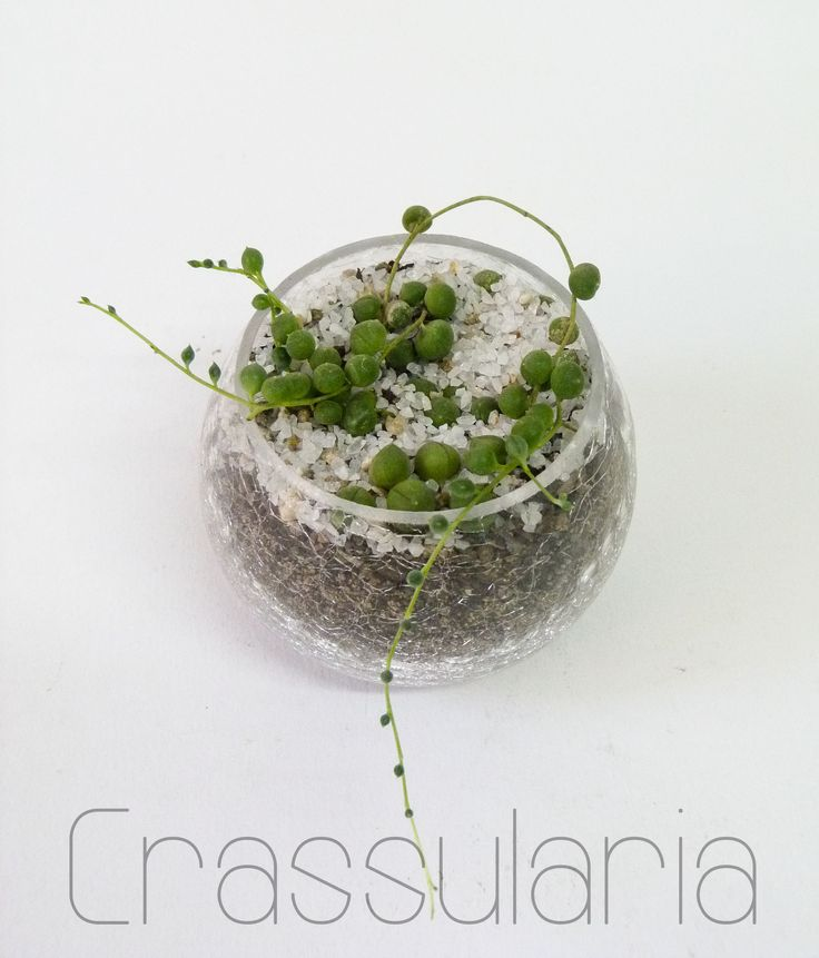 Suculenta Senecio rowleyanus o rosario. Base de vidrio craquelado más cuarzo blanco.  8 x 8 cms.