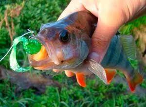 Рыбалка видео: Ловля окуня на отводной поводок