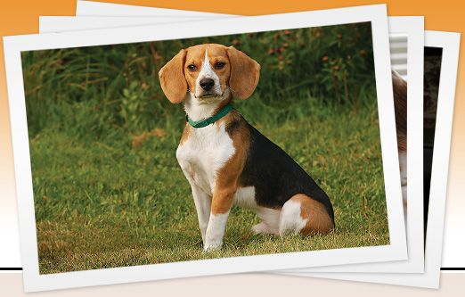 This is a wonderful organization.  I am lucky to have two beagles from Beagle Paws.