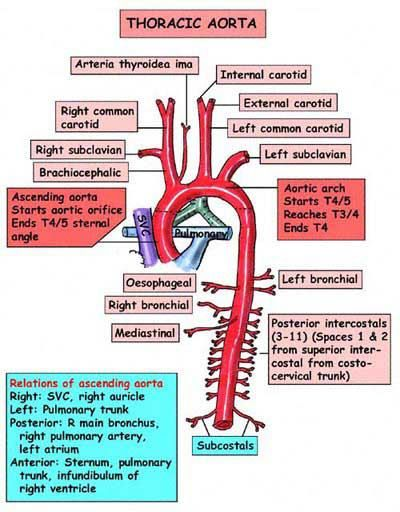 "Aortic arch: major branch order    ""Know your ABC'S"":  Aortic arch gives rise to:  Brachiocephalic trunk  left Common Carotid  left Subclavian   Beware though trick question of 'What is first branch of aorta?' Technically, it's the coronary arteries.   https://www.facebook.com/medicaladdicts2"