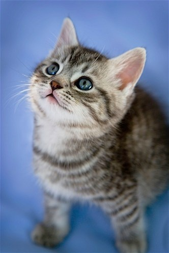 The gray tabby: Known for their stripes, dots, lines and swirling patterns that usually form a shape that resembles an M on the cat's forehead, the tabby usually falls into one of four pattern types, including mackerel, classic, spotted and ticked.