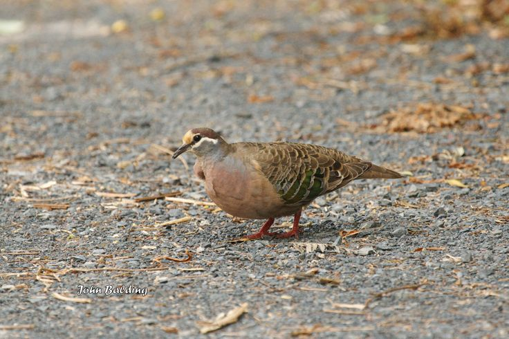 An adult male Common Bronzewing, foraging for seeds on our garden path in Warburton, Victoria