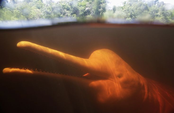New Brazilian River Dolphin Species Discovered in Araguaia River. Photo: ReutersRivers Dolphins, Life Lessons, Pink Rivers, Brazilian Rivers, Dolphins Species, Inspiration Quotes, Species Discover, Araguaia Rivers, 100 Years