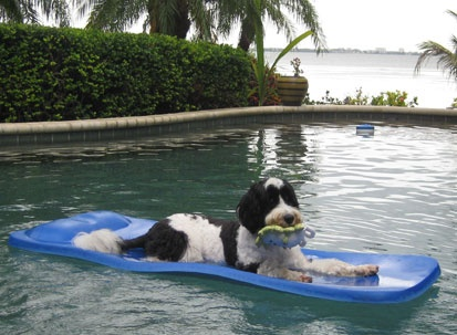 Portuguese Water Dog Rescue Massachusetts