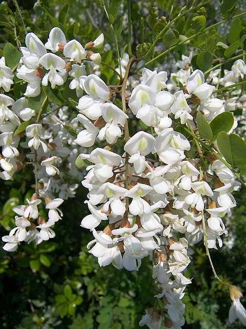 Acacia, white or rose...elegance, platonic love