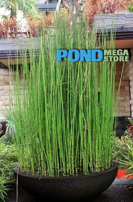 RUSH HORSETAIL Equisetum hyemale  swimming pond  Pond plants Ponds backyard Garden