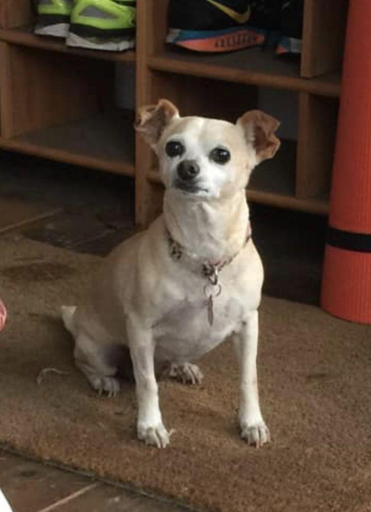 Adopt Tasha On Dogs Kids Chihuahua Terrier Mix Adoption