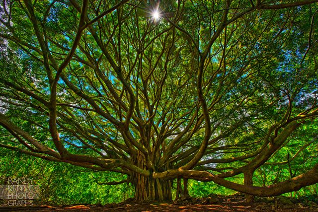 The Banyan or Banian tree is an epiphyte which means the plant growing from other plant. Banyan is the national tree of India.